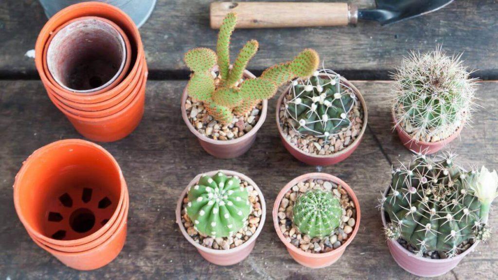Reproducción de los cactus